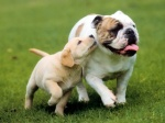 Cute-Dog-Wallpapers-15