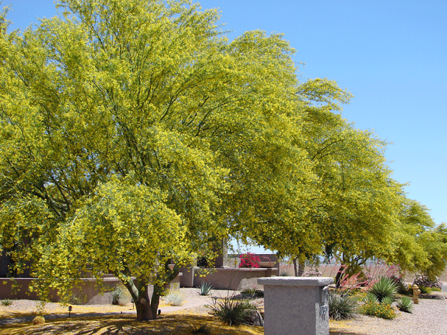 Landscaping With Palo Verde Trees : Palo verde tree in bloom most of the time just spindly green limbs