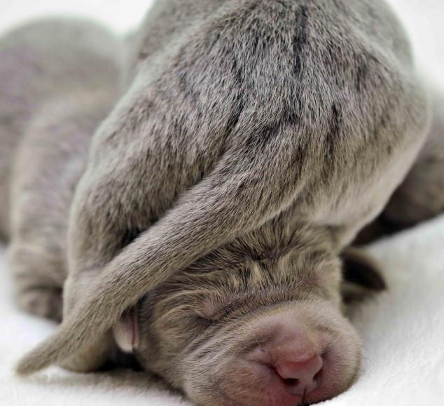 Newborn-Puppies-Weimaraners-634×579 | Michael Bradley ...
