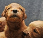 Newborn-Puppies-Goldendoodles