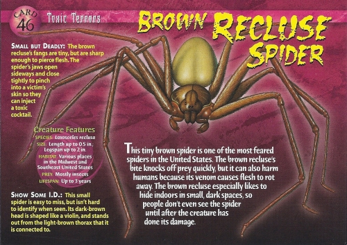 Brown_Recluse_Spider_front