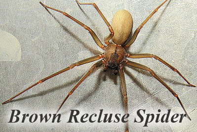 spider-brown-recluse