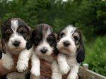 rare-dog-breads-15
