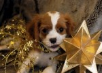 644453-christmas-puppy-chewing-on-a-star1