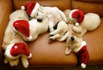 christmas-dog-dogs-merry-christmas-photography-Favim.com-248743