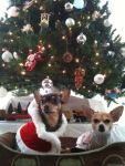 these-dogs-arent-very-happy-about-their-christmas-sweaters-18-photos-17