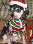 these-dogs-arent-very-happy-about-their-christmas-sweaters-18-photos-4