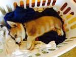 Laundry baskets are the best beds