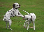 cute-puppies-playing