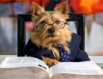 smartYorkshire-Terrier-