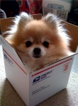 Pomeranians-How-cute-Dogs
