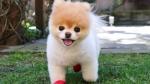 20151125161427-boo-pomeranian-celebrity-dog