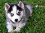 2257234380_Siberian_Husky_Puppy_Wallpapers_answer_1_xlarge