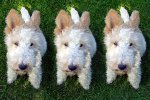 cloned-dog-THUMB