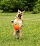 dog-playing-ball-funny-250x283