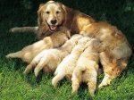 78455669-mastitis-in-dogs-prevention-632x475