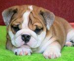 animal-big-cute-dog-favim-com-360519
