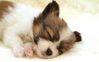 dog-sleeping-white