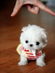 super-tiny-teacup-maltese-puppy-baby-cute-waldo-costume-sweater-dog-small-maltipoo-designer