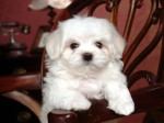 white-dog-chair-cute_125401